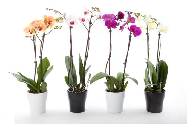 Cum sa ingrijesti corect orhideea
